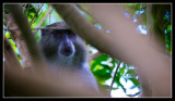 Very Rare Samango Monkey