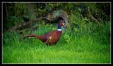 Cock Pheasant in fine plumage