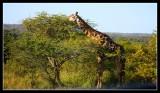 Giraffe - by Gill