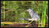 Little Heron - By Gill