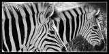Zebra Stripes - by Gill
