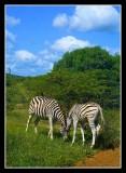 Zebra foal with mum - by  Douglas