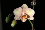 orchid in bloom again