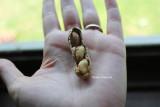 three peanuts