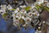 flowering pear 338.jpg