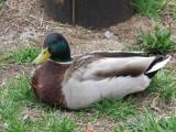 Mr Duck 350.jpg