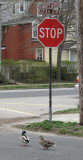 obey the stop sign dear 349.jpg