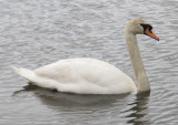 swans have stopped for a visit 376.jpg
