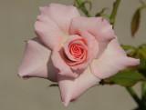 pink rose 612.jpg