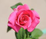 deep pink rose 613.jpg