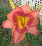 day lily 622.jpg