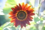 sun flower 620.jpg