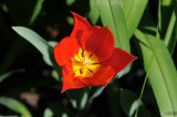 red tulip 897.jpg