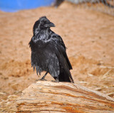 One of our Ranch Ravens