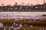 [NOVEMBER 2005] Flocks of Snow Geese begin a mass lift-off from Snow Goose Pool as the sun sets.