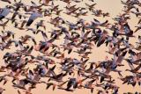 [NOVEMBER 2005] The entire population of Snow Geese settled at Snow Goose Pool lift off into the sky as the sun goes down.