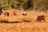 [NOVEMBER 2005] Assateague Island's indigenous wild horses graze in the Island's fields at dusk.