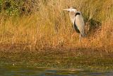 [NOVEMBER 2005] An adult Great Blue Heron stands on the shore of an Assateague freshwater pond.
