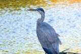 [NOVEMBER 2005] A young Great Blue Heron searches for food at one of Assateague Island's several large freshwater ponds.