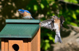 Eastern Bluebirds, Male and Female