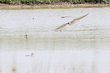 Peregrine with Yellowlegs in its sights