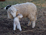 Welcome to the world Simmons Farm  April 14 2012_.jpg