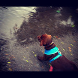 Cino first Puddle August 10 2012.jpg