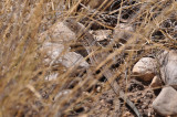 Spotted Whiptail