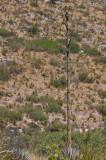 Century Plant- Agave americana