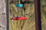 Lucifer Hummingbird pair