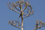 Curve-billed Thrasher in dead Agave