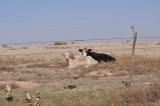Cattle on the Haverfield Ranch