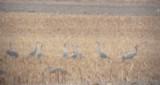 Common Crane- Grus grus