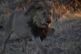 African Lion-Namibian black-maned race