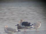 Slaty-Backed Gull- Massachusetts