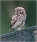 Little Owl / Steenuil