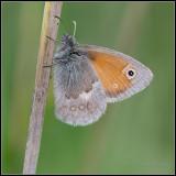Small Heath / Hooibeestje / Coenonympha pamphilus