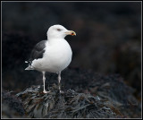 Great Black-backed Gull / Grote Mantelmeeuw / Larus marinus