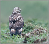 Rough-legged Buzzard / Ruigpootbuizerd
