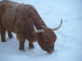 Vache «Highland», St-Onésime-d'Ixworth