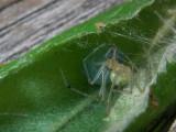 Araignée et oeufs, St-Onésime-d'Ixworth