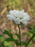Chrysanthème d'automne, St-Onésime-d'Ixworth