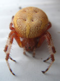 Araignée, St-Onésime-d'Ixworth