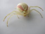 Araignée, Waswanipi