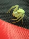Araignée, Lebel-sur-Quévillon