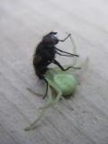 Araignée et mouche, Lebel-sur-Quévillon