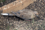 Mourning Dove in transition to adult plumage.