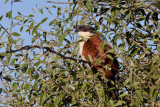 Sengal Coucal