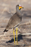 African Watttled Lapwing