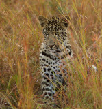 Male cub